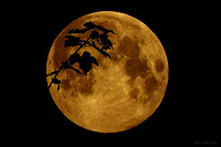 Moon and Maple from Hammonds Plains, Nova Scotia 2014-09-08